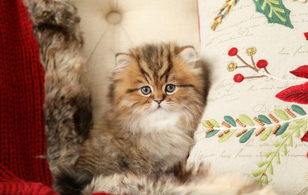گربه پرشین تبی