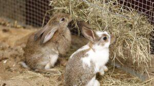 دوتا خرگوش مشغول علوفه خوردن