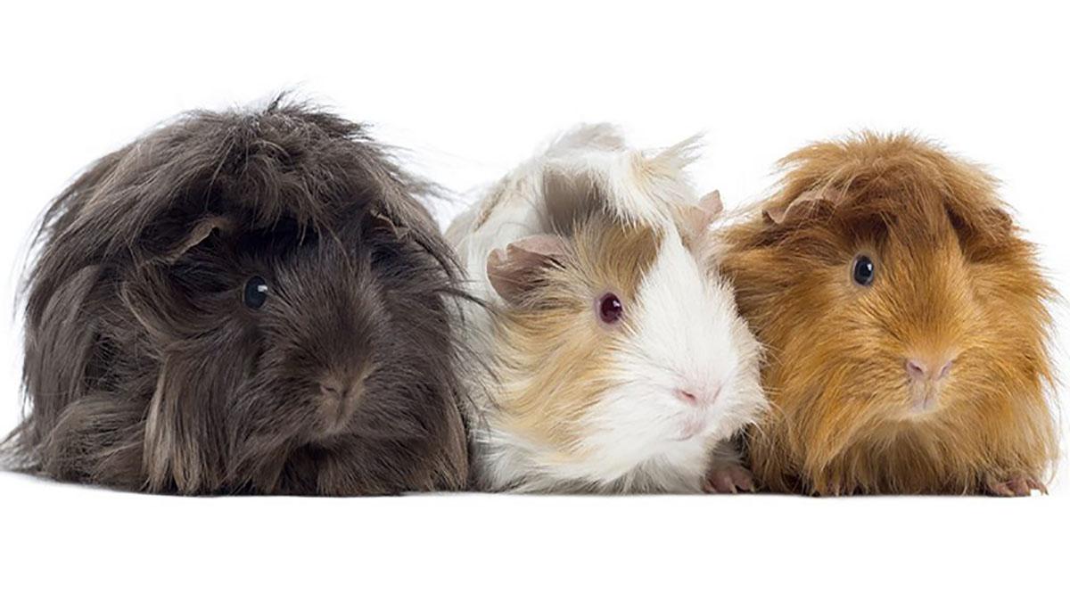 خوکچه هندی؛ بهترین حیوان خانگی برای کودکان