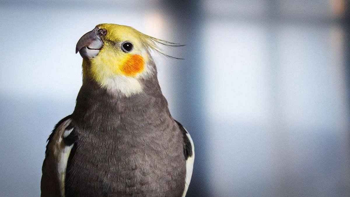 عروس هلندی، پرنده خانگی بامزه و بی دردسر