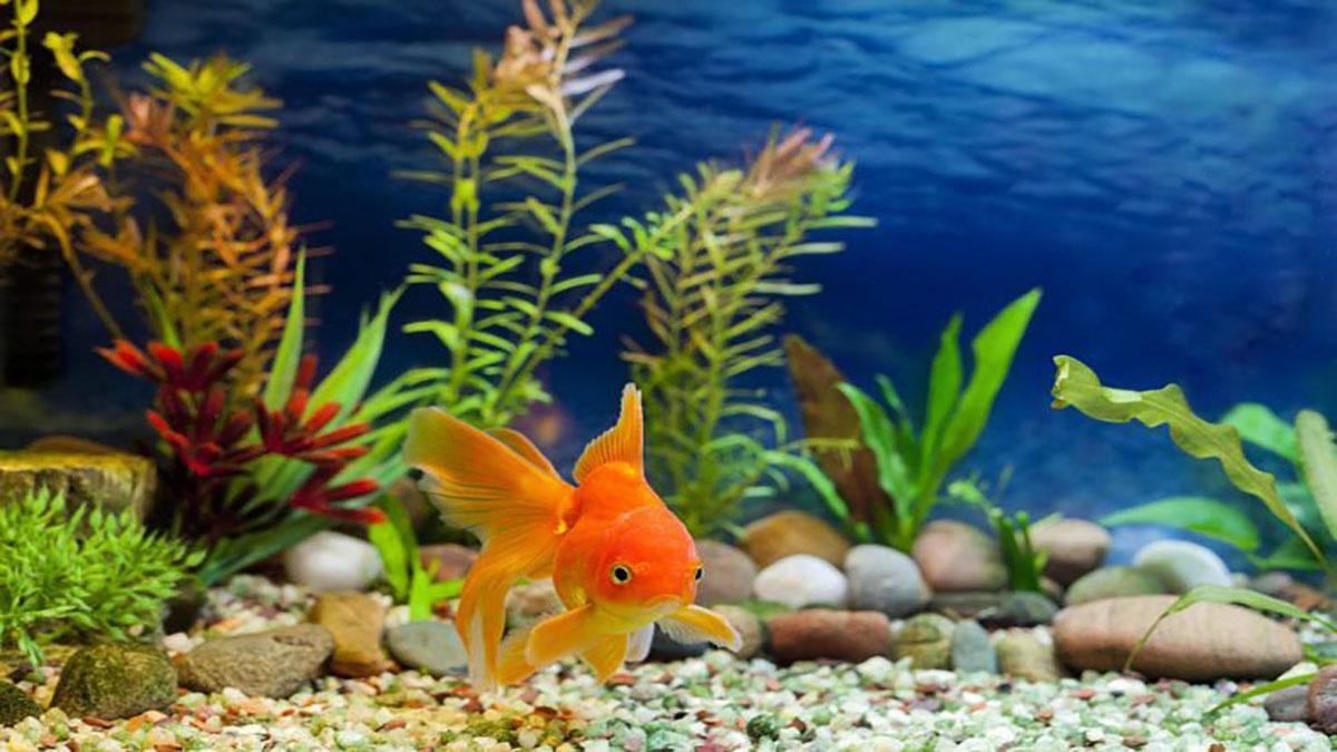 ماهی قرمز،حیوان خانگی بی دردسر