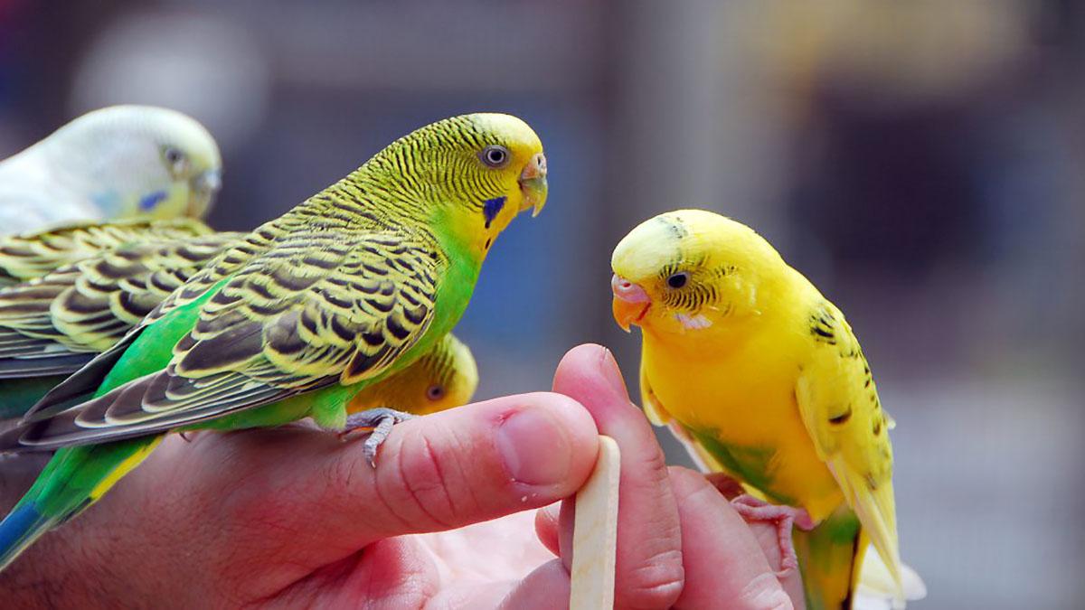 مرغ عشق؛ بهترین پرنده خانگی برای کودکان