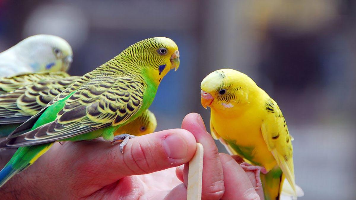 مرغ عشق؛ بهترین حیوان خانگی برای جوانان
