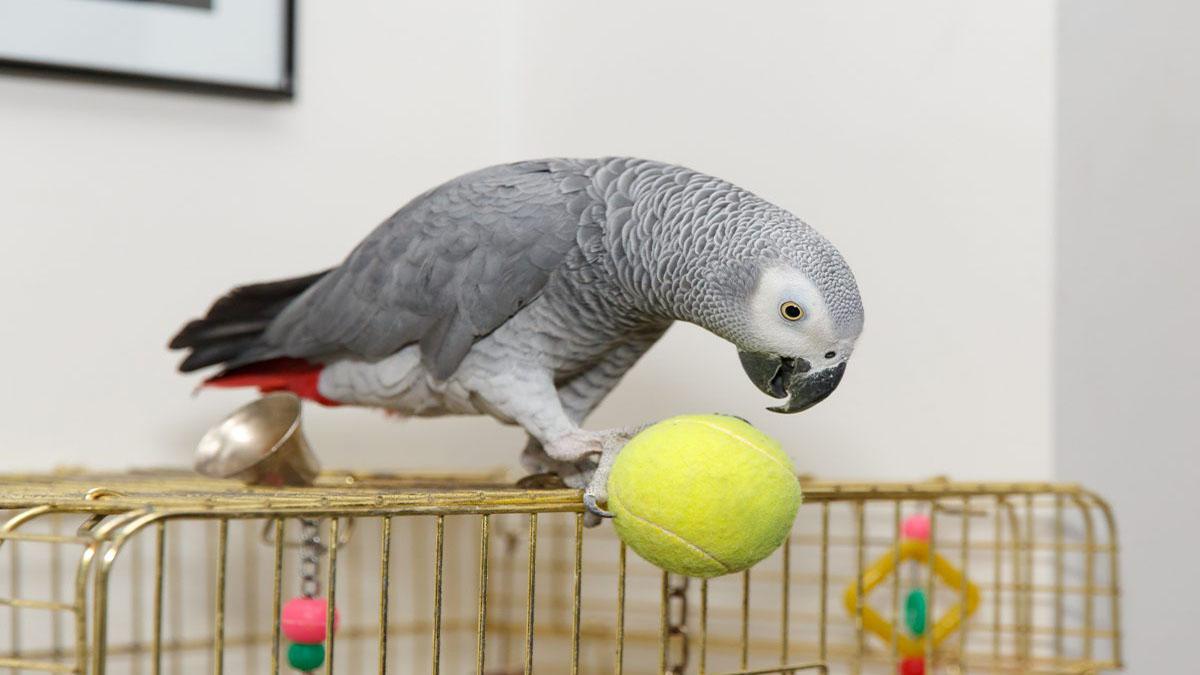 کاسکو پرنده خانگی بی دردسر