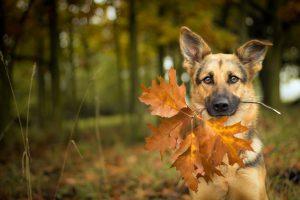 بازی سگ ژرمن شپرد با برگ های پاییزی
