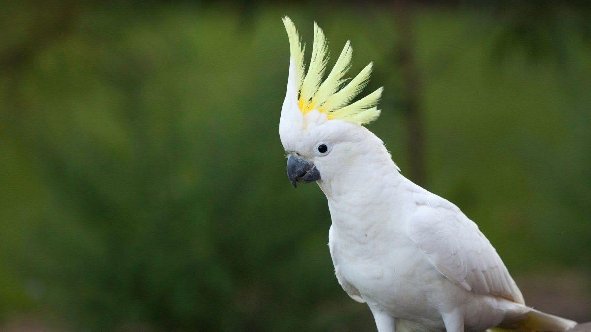 پرنده کاکادو، بهترین حیوان خانگی بامزه