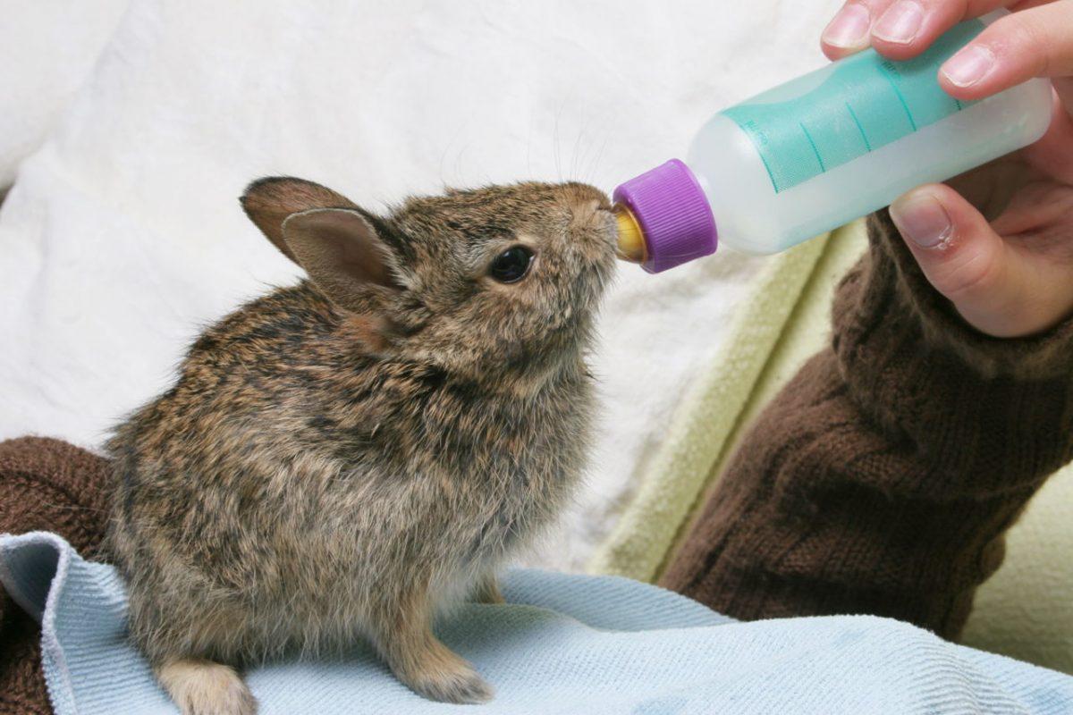 شیر دادن به خرگوش نوزاد