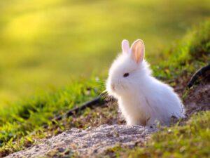 خرگوش سفید در صحرا