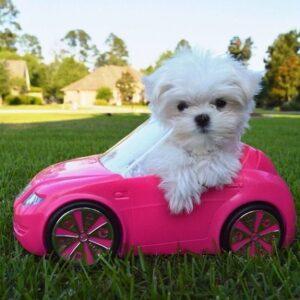 سگ مالتیز داخل ماشین شارژی صورتی
