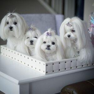 سگ های مالتیز ماده خوشگل