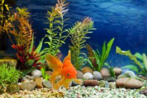 حیوان خانگی ماهی قرمز