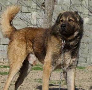 سگ سرابی اصیل ایرانی