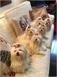 خانواده سگ های مالتیز