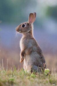 خرگوش ایستاده