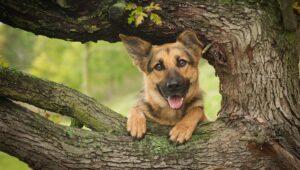سگ ژرمن شپرد بالای درخت