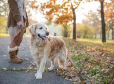 معرفی کامل سگ گلدن رتریور؛ نژاد مهربان و محبوب خانوادهها