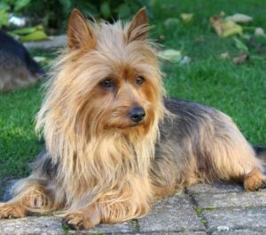 سگ تریر استرالیایی