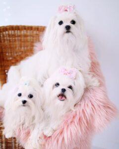 خانواده خوشگل سگ مالتیز
