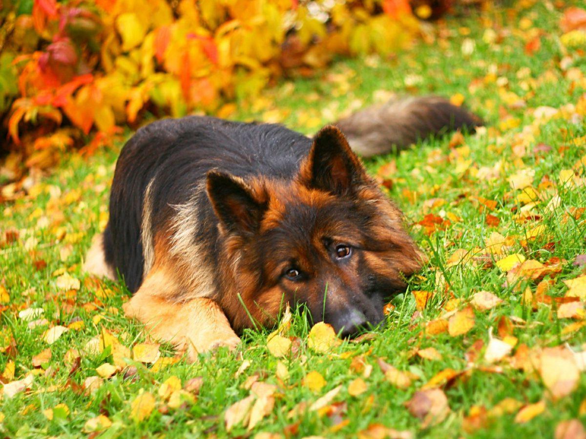 سگ ژرمن شپرد در جنگل پاییزی