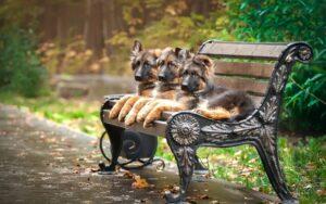 توله های سگ ژرمن شپرد روی نیمکت پارک