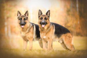 دوتا سگ ژرمن شپرد