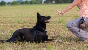 اموزش به سگ ژرمن شپرد ورک