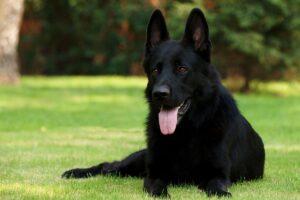 سگ ژرمن شپرد ورک