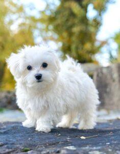 سگ مالتیز سفید