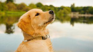 سگ گلدن رتریور دوست داشتنی