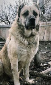 سگ سرابی ایرانی