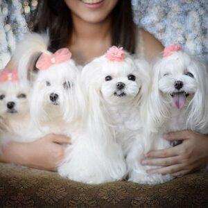 خانواده سگ مالتیز در کنار صاحبشون