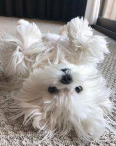 سگ مالتیز در حال بازی کردن