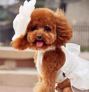 سگ پودل با لباس دخترانه
