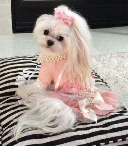سگ ماده مالتیز با لباس عروسکی