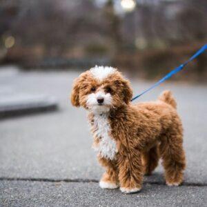 سگ پودل در حال پیاده روی