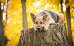 سگ ژرمن شپرد در جنگل