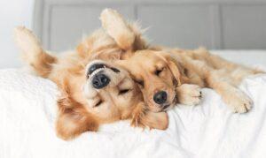 دو سگ گلدن رتریور در حال بازی کردن