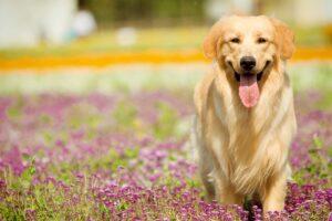 سگ گلدن رتریور در طبیعت