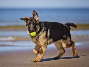 سگ ژرمن شپرد در حال توپ بازی