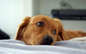 سگ گلدن رتریور درحال استراحت