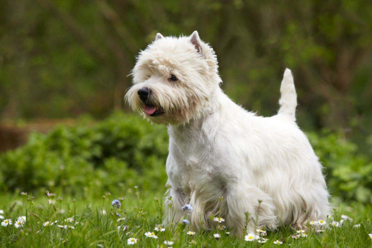 معرفی سگ تریر و ویژگی های جذاب این سگ (وست هایلند تریر، شیتزو تریر، یورک شایر تریر، خصوصیات، نگهداری)