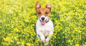 سگ تریر در دشت گل