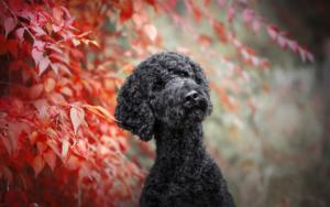 سگ پودل مشکی