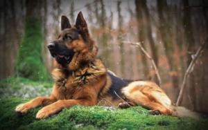 سگ ژرمن شپرد بزرگ