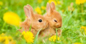 خرگوش نرو ماده در کنار هم