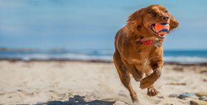 توپ بازی کردن سگ کنار صاحل