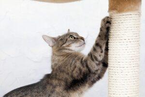 گربه در حال استفاده از اسکرچر