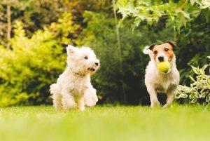 توپ بازی کردن دوتا سگ