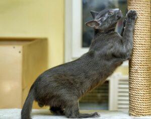 ناخن کشیدن گربه با اسکرچر ایستاده