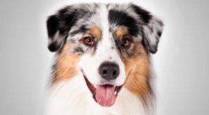سگ شپرد استرالیایی